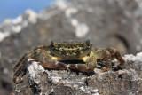 Green crab Carcinus mediterraneus obre¾na rakovica_MG_3402-11.jpg