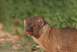Indian mongoose Herpestes auropunctatus mungo_MG_2958-11.jpg