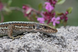 Horvath's rock lizard Iberolacerta (Lacerta) horvathi horvatova ku¹èarica_MG_1766-11.jpg