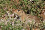 European ground squirrels Spermophilus citellus tekunica_MG_0414-11.jpg