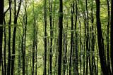 Beech forest bukov gozd_MG_9647-11.jpg