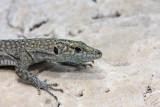 Sharp-snouted lizard Dalmatolacerta (Lacerta) oxycephala ¹iloglavka_MG_2758-11.jpg