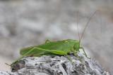 Great green bush-cricket Tettigonia viridissima drevesna zelenka_MG_2782-11.jpg