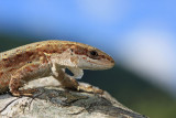 Viviparous lizard Zootoca  vivipara ¾ivorodna ku¹èarica_MG_1697-11.jpg