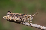 Italian locust Calliptamus italicus la¹ka kobilica_MG_2874-11.jpg