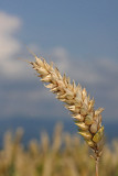 Wheat Triticum aestivum p¹enica_MG_2531-11.jpg
