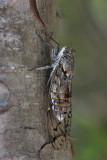 Cicada orni jesenov ¹kr¾at_MG_3311-11.jpg