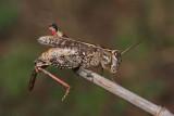 Italian locust Calliptamus italicus la¹ka kobilica_MG_2882-11.jpg