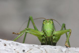 Great green bush-cricket Tettigonia viridissima drevesna zelenka_MG_2826-11.jpg
