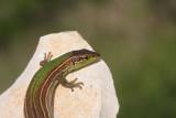 Dalmatian wall lizard Podarcis melisellensis kra¹ka ku¹èarica_MG_3058-11.jpg