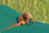 Indian mongoose on the rubbish dump Herpestes auropunctatus mungo na smeti¹èu_MG_3147-11.jpg