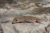 Turkish gecko Hemidactylus turcicus tur¹ki gekon_MG_3461-11.jpg