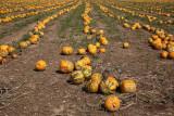 Oilseed pumpkin Cucurbita pepo oljna buèa_MG_3241-11.jpg