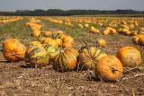 Oilseed pumpkin Cucurbita pepo oljna buèa_MG_3233-11.jpg