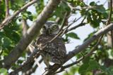 Little owl Athene noctua �uk_MG_0716-11.jpg