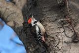 Middle spotted woodpecker Dendrocopus medius srednji detel_MG_4883-11.jpg