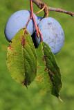Plum Prunus domestica sliva_MG_5828-11.jpg