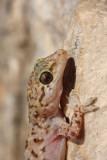 Turkish gecko Hemidactylus turcicus tur¹ki gekon_MG_3455-11.jpg