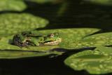 Edible frog Pelophylax (Rana) kl. esculentus zelena �aba_MG_1049-11.jpg