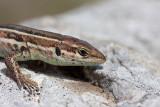 Dalmatian wall lizard Podarcis melisellensis kra¹ka ku¹èarica_MG_6439-11.jpg