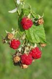 Raspberry malina_MG_5805-11.jpg