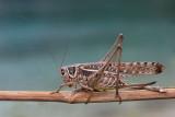White-faced bush-cricket Decticus albifrons primorska plenilka_MG_3523-11.jpg