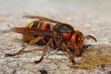 European hornet Vespa crabro sr�en_MG_2621-111.jpg