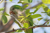 Parakeet with the spoon papiga z �lico_MG_8512-11.jpg