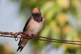 Juvenile barn swallow mlada lastovka_MG_3768-11.jpg