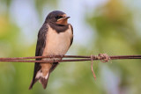 Juvenile barn swallow mlada lastovka_MG_3750-11.jpg