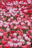Tulips tulipani_MG_8779-11.jpg