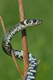 Grass snake Natrix natrix belou�ka_MG_9649-111.jpg
