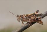 Italian locust Calliptamus italicus laška kobilica_MG_3552-11.jpg