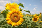 sunflower_helianthus
