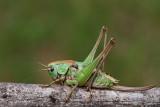 Wart-biter bush cricket Decticus verrucivorus travniška plenilka_MG_8605-111.jpg