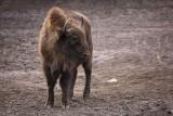 European bison Bison bonasus bizon_MG_3166-111.jpg