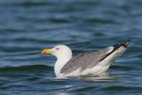 Yellow-legged gull Larus michahellis rumenonogi galeb_MG_0094-11.jpg