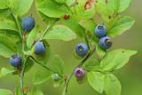 Bilberry Vaccinium myrtillus borovnica_MG_8542-11.jpg