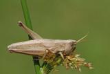 Large gold grasshopper  Chrysochraon dispar velika zlata kobilica_MG_8965-11.jpg
