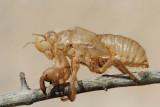 Slough of cicada lev �kr�ata_MG_2125-111.jpg