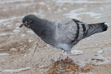Rock dove Columba livia skalni golob_MG_79001-11.jpg