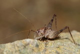 Cave cricket Troglophilus cavicola jamska kobilica_MG_87001-11.jpg
