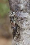 Cicada orni jesenov �kr�at_MG_2104-111.jpg