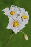 Potato Solanum tuberosum krompir_MG_4224-11.jpg