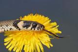 Grass snake Natrix natrix belou�ka_MG_8873-111.jpg