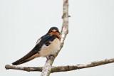 Young swallow mlada lastovka_MG_4272-11.jpg