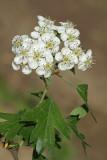 Hawthorn Crataegus monogyna navadni glog_MG_9200-11.jpg