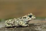 Green toad Pseudepidalea (Bufo) viridis zelena krastača_MG_5327-111.jpg