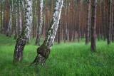 Pine forest borov gozd_MG_9392-11.jpg