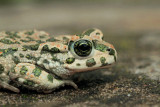 Green toad Pseudepidalea (Bufo) viridis zelena krastača_MG_5335-11.jpg